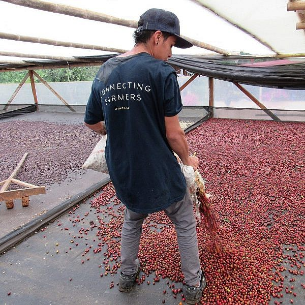 Man spreading coffee cherries on drying platform for natural processing