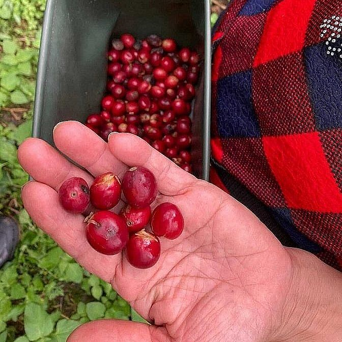 Worker holding fresh-picked coffee cherries in their hand